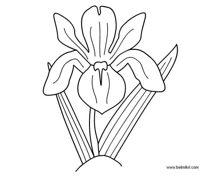 iris coloring pages - photo#3